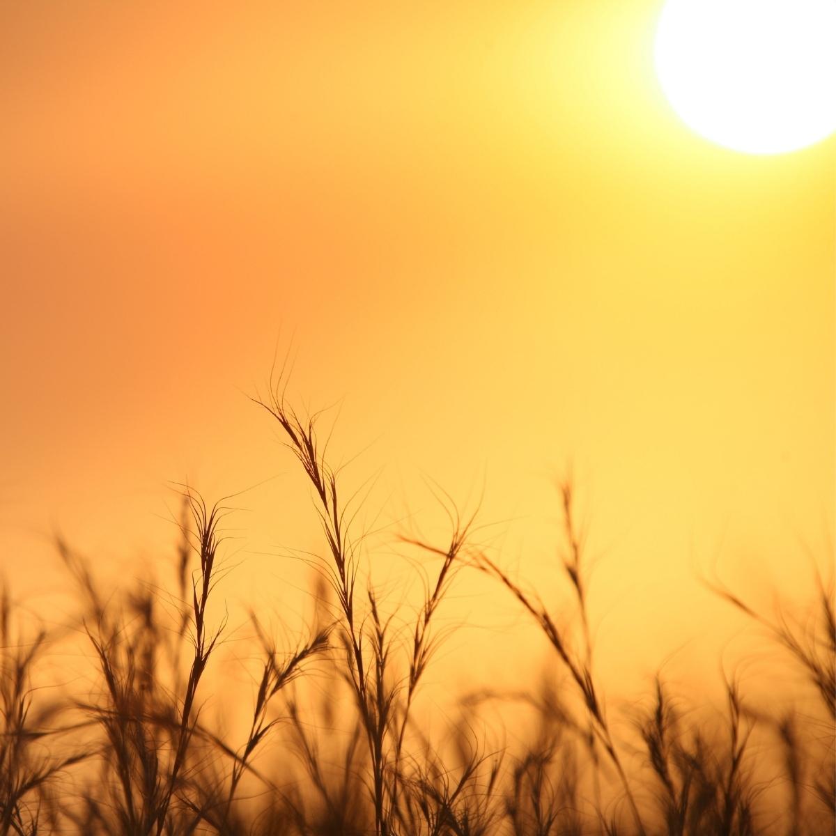 sunlight over wheat